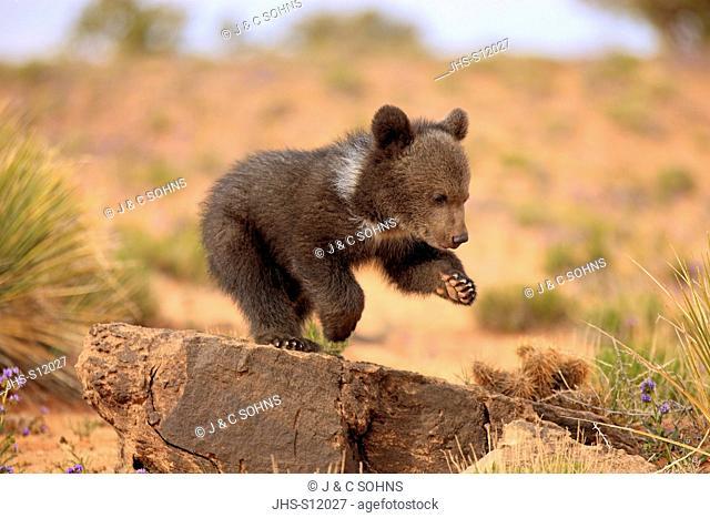 Grizzly Bear, (Ursus arctos horribilis), Monument Valley, Utah, USA, three month old