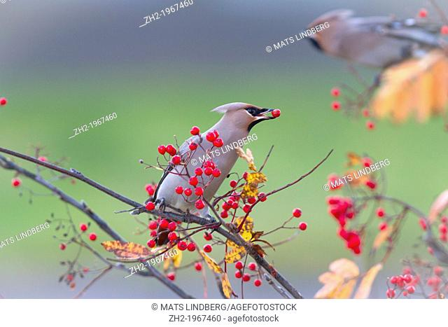 Waxwing, Bombycilla garrulus, sitting in a rowantree in autumn season and eating rowanberries and have on in his beak, Gällivare, Swedish lapland