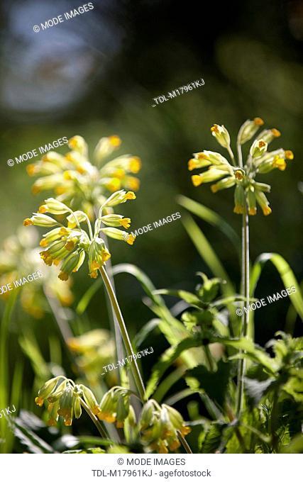 Cowslips, Primula veris