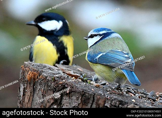BLUE TITS (Cyanistes caeruleus), GREAT TITS (Parus major), birds are sitting on feeder in Letovice, Czech Republic, on January 8, 2021