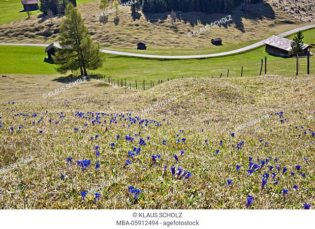 Gentian meadow