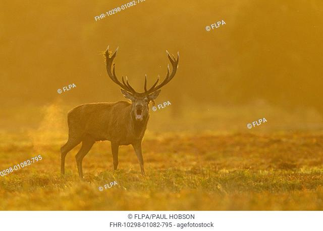 Red Deer (Cervus elaphus) stag, roaring during rutting season, with breath condensing at dawn, Bradgate Park, Leicestershire, England, October