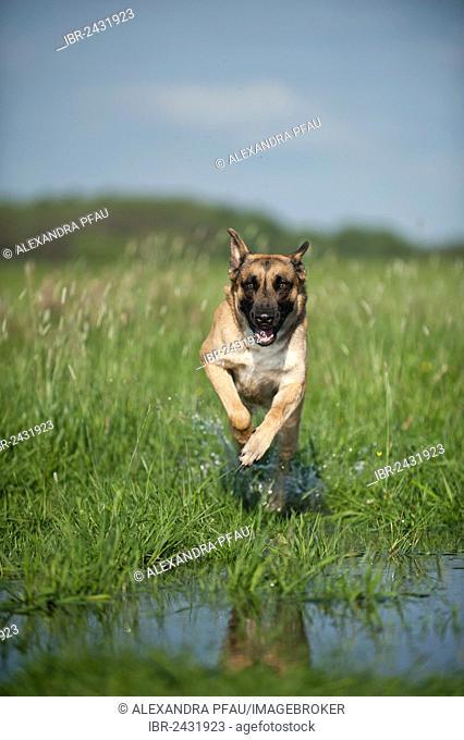Malinois or Belgian Shepherd Dog running across a meadow