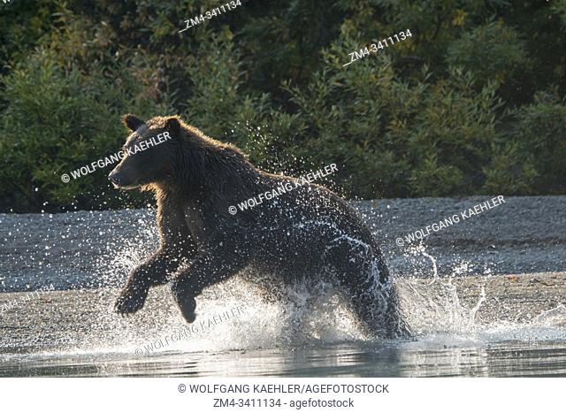 A Brown bear (Ursus arctos) is fishing for salmon along the shore of Lake Crescent in Lake Clark National Park and Preserve, Alaska, USA