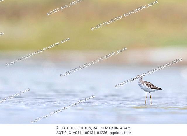 Marsh Sandpiper, Tringa stagnatilis, Russia (Baikal), adult, breeding plumage