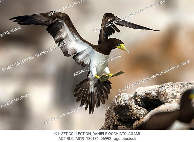 Brown Booby in flight, Brown Booby, Sula leucogaster