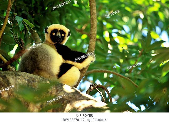 black lemur Eulemur macaco macaco, Lemur macaco macaco, sitting on branch, Madagascar, Nosy Tanikely Naturpark