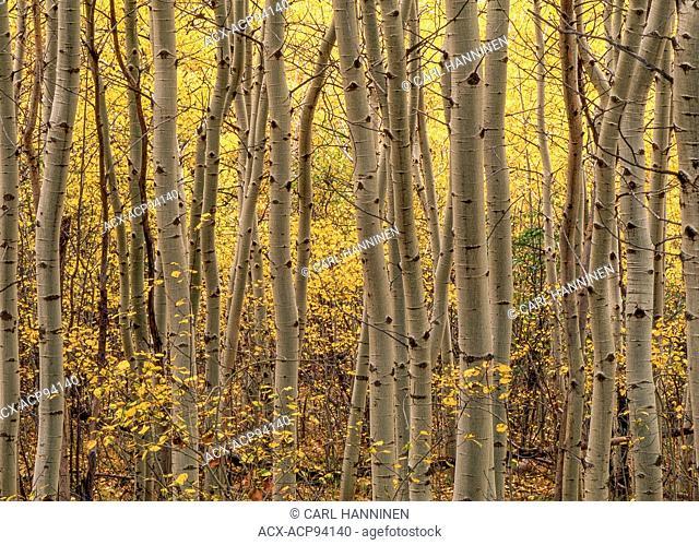 Poplar grove (Populus tremuloides) in autumn, Sudbury, Ontario, Canada