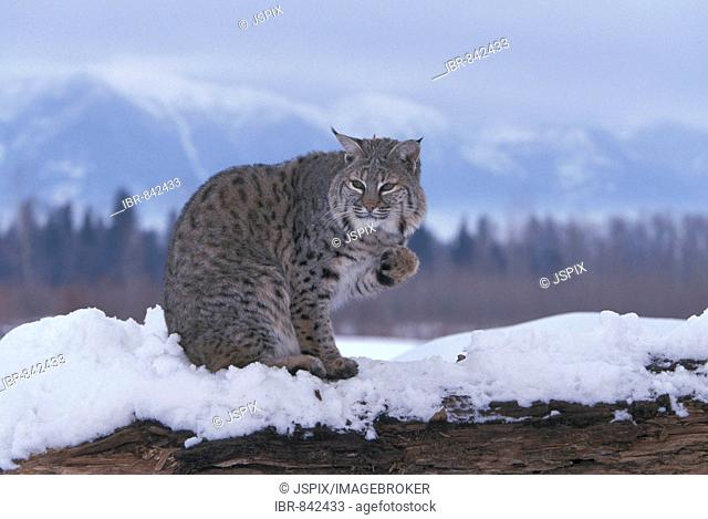 Bobcat (Lynx rufus), adult in snow, Montana, USA, North America