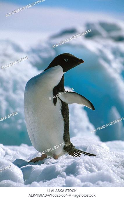 Adelie Penguins Paulet Isls Antarctica winter portrait