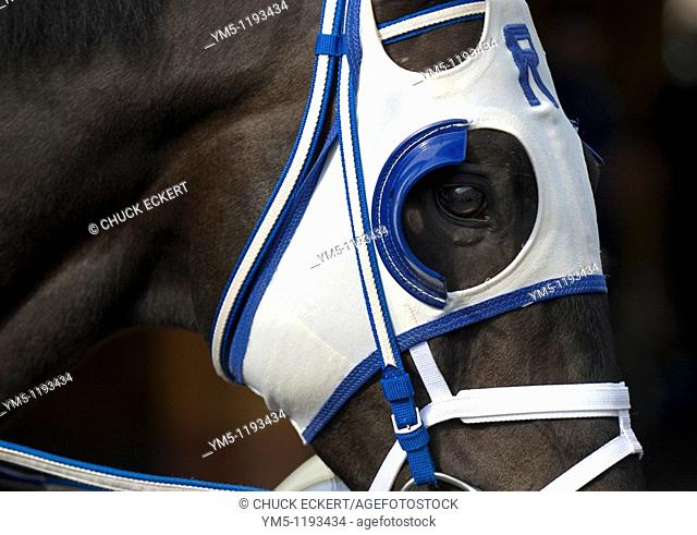 Thoroughbred Race Horse wearing blinders which prevent the horse from seeing behind