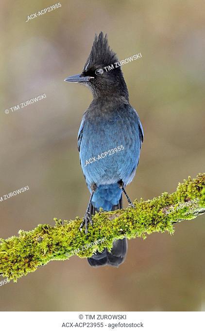 Steller's Jay Cyanocitta stelleri perching on branch