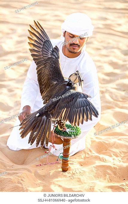 Saker Falcon (Falco cherrug). Falconer caring for trained bird on its block in the desert. Abu Dhabi