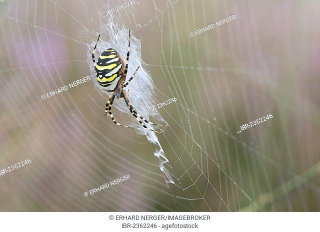 Wasp Spider (Argiope bruennichi), Haren, Emsland, Lower Saxony, Germany, Europe