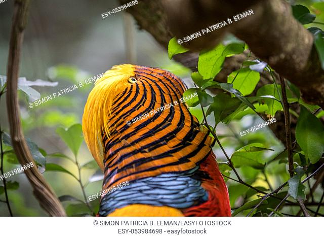 Golden pheasant close up in the forest