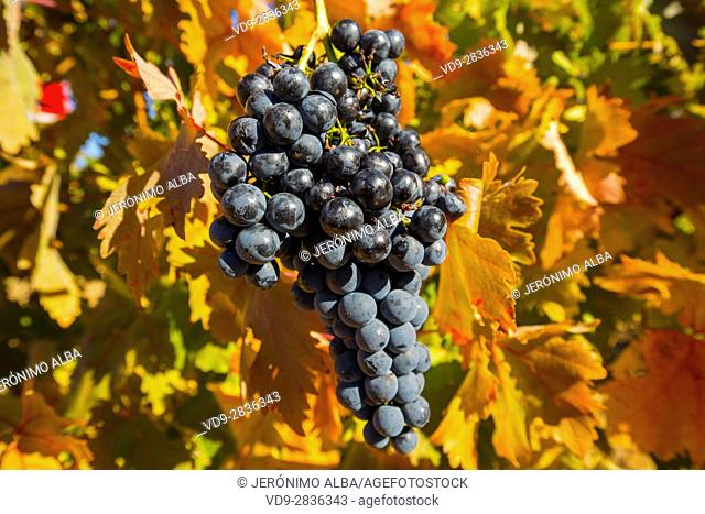 Vineyards in Aranda de Duero, Rivera del Duero wines district. Valladolid Castilla Leon, Spain Europe