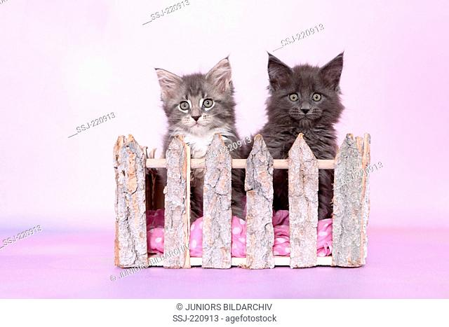 American Longhair, Maine Coon. Kittens (8 weeks old) looking over a fence. Germany. Studio picture seen against a pink background