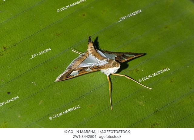 Moth (Glyphodes bivitralis, Crambidae Family) on leaf, Klungkung, Bali, Indonesia