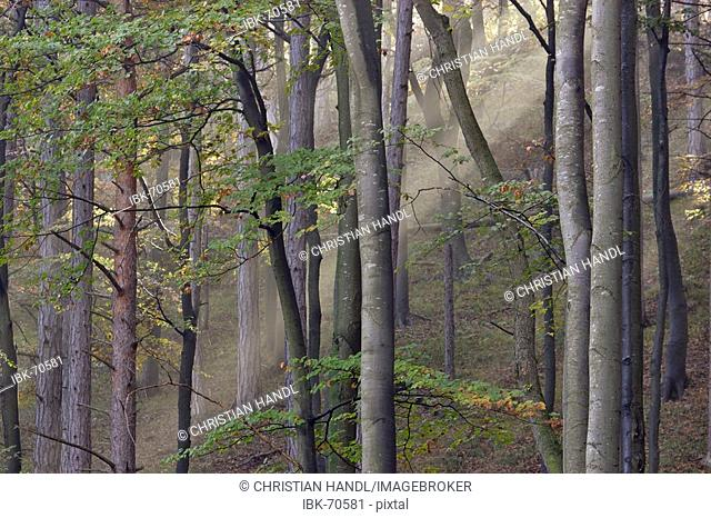 Sun is shinning into a beech forest with fog Lower Austria