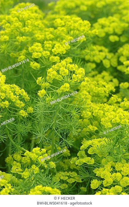cypress spurge Euphorbia cyparissias, blooming