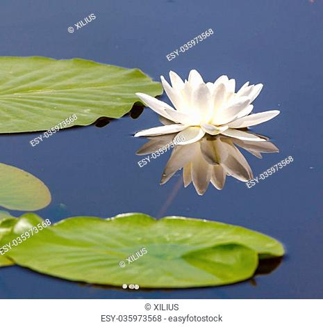 White water lily (Nymphaea Alba) on a lake