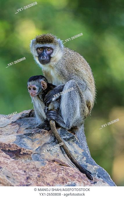 Vervet mother grooming baby in a Great Rift Valley forest north of Lake Baringo
