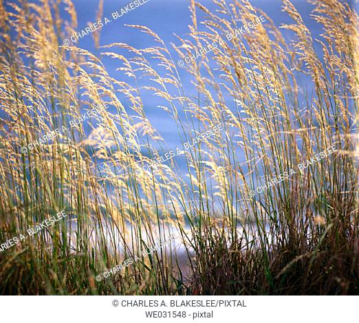 Grass in sunlight, Whidbey Island. Island County. June, afternoon light. Washington. USA