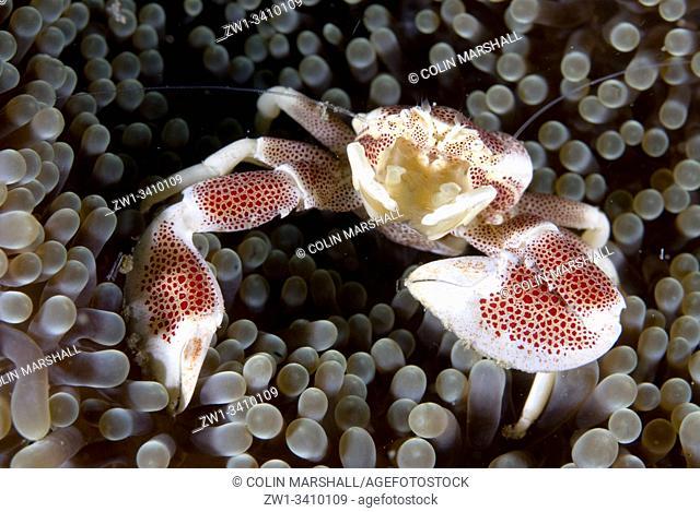 Porcelain Crab (Neopetrolisthes maculatus, Porcellanidae Family) on Giant Carpet Anemone (Stichodactyla gigantea, Stichodactylidae Family)