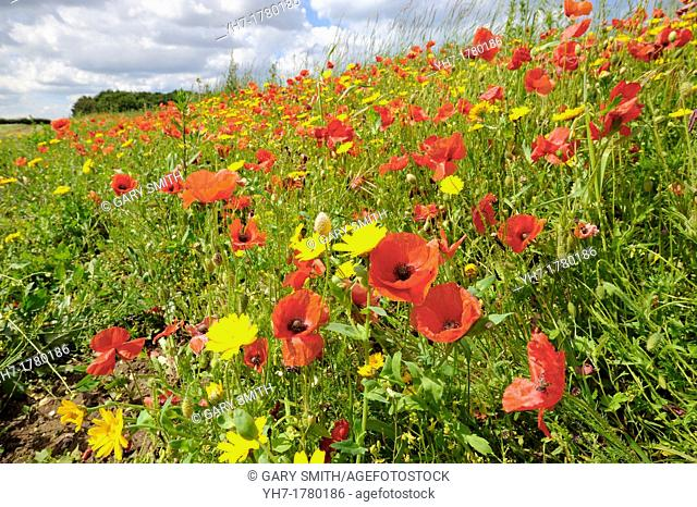 Poppies, papaver rhoeas, and corn marigold, chrysanthemum segetum, growing on an arable headland, England, July