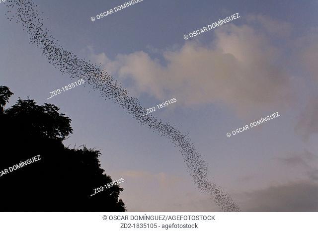 Flocks of Wrinkle-lipped Bats Tadarida plicata in flight at dusk  Khao Yai National Park  Thailand