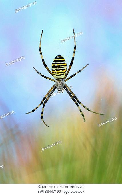 Black-and-yellow argiope, Black-and-yellow garden spider (Argiope bruennichi), female in its web, Germany, North Rhine-Westphalia