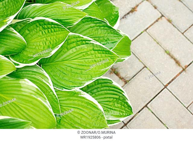 Leaves hosta on the background of paving slabs