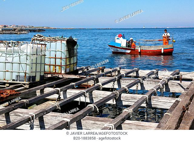 Cultivation of mussels, semi-submerged platform Batea marine cultivation, O'Grove, Ria de Arousa, Pontevedra province, Galicia, Spain