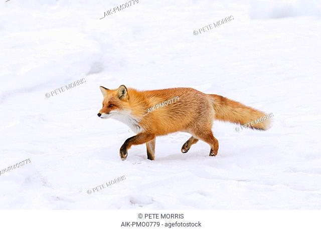 Red Fox (Vulpes vulpes) in the snow of Japan