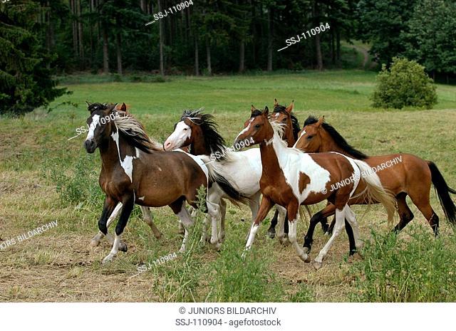horses - herd trotting