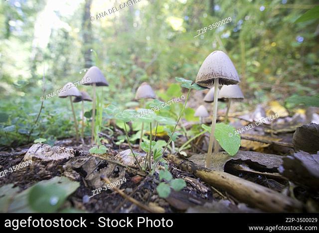 Coprinellus disseminatus or Fairy Inkcap mushrooms Ambroz valley Caceres Spain