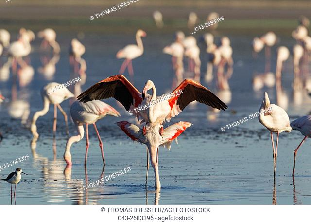 Greater Flamingo (Phoenicopterus roseus) - Mating pair at the Laguna de Fuente de Piedra near the town of Antequera. This is the largest natural lake in...
