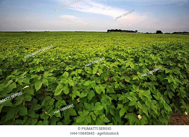 USA, America, United States, North America, Ennis, Texas, soybeans crops, United States of America, soya bean, plantat
