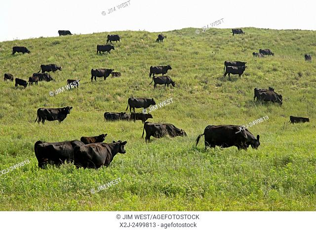 Valentine, Nebraska - Cattle in the Valentine National Wildlife Refuge. Refuge managers use cattle to mimic the role that bison formerly played on this sandy...