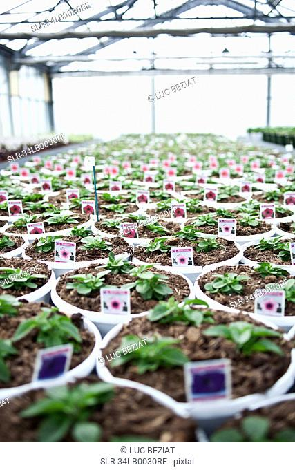Potted petunias growing in greenhouse