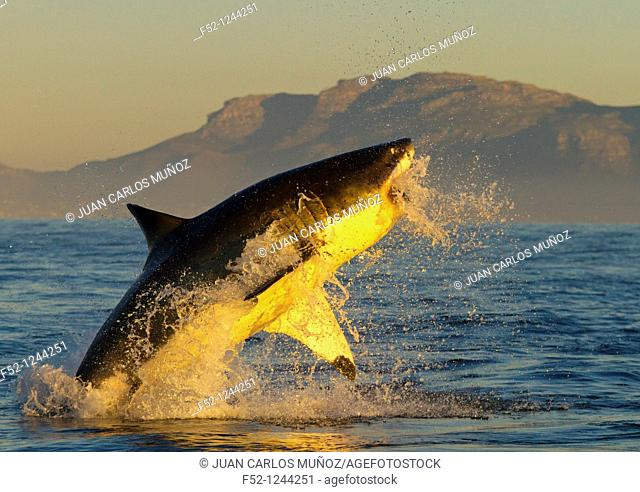 Great White Shark (Carcharodon carcharias), False Bay, South Africa