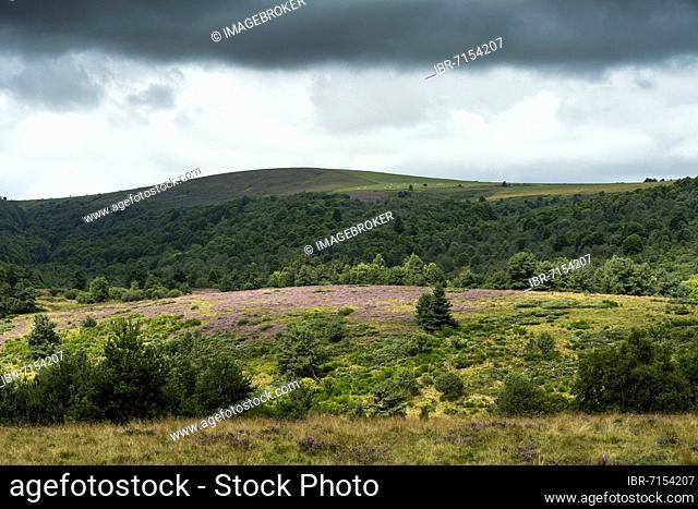 Col des Supeyres, moors of Hautes Chaumes, Livradois-Forez Regional Nature Park, Puy de Dome department, Auvergne-Rhone-Alpes, France, Europe