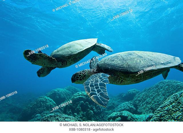 Green sea turtle Chelonia mydas at cleaning station at Olowalu Reef on the west side of the island of Maui, Hawaii, USA  MORE INFO The range of this species...