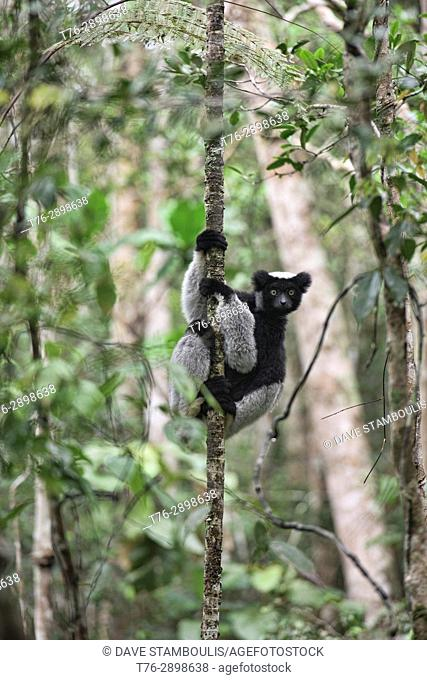 Indri, the largest species of lemur, Andasibe National Park, Madagascar