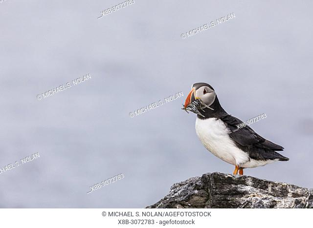 Adult Atlantic puffin, Fratercula arctica with small fish, Vigur Island, off the west coast of Iceland