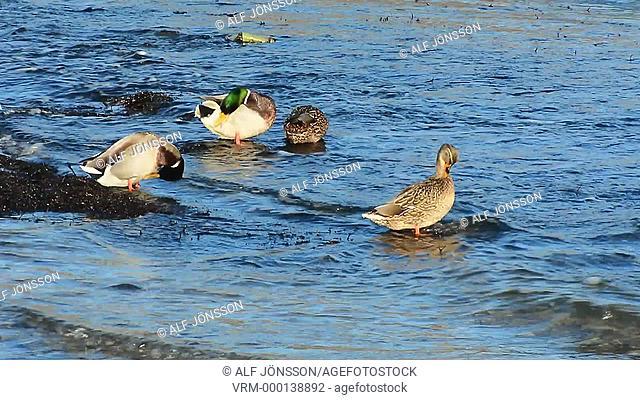 Wild ducks on water