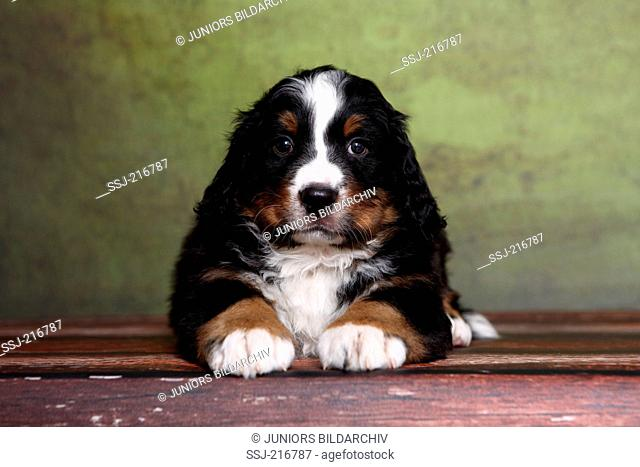 Bernese Mountain Dog. Puppy (6 weeks old) lying on parquet. Studio picture against a green background. Germany