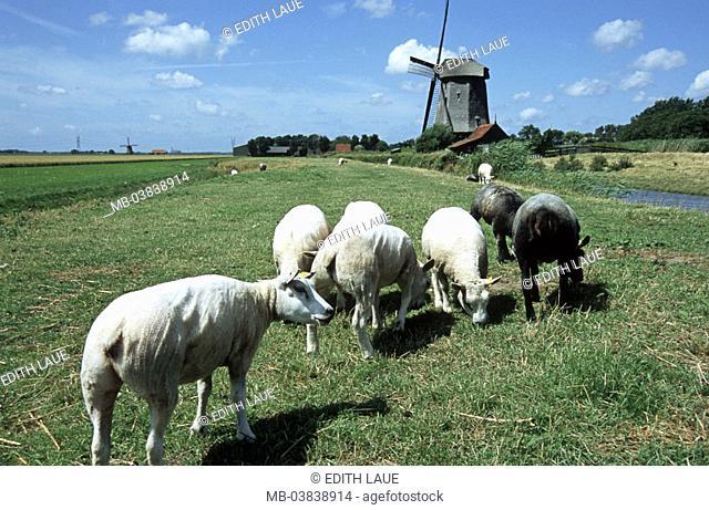 Netherlands, Schermerhorn, Feldlandschaft, Sheep, museum mill, 1634,   Holland, North Holland, landscape, meadow, animals, farm animals, grass, eat, brook