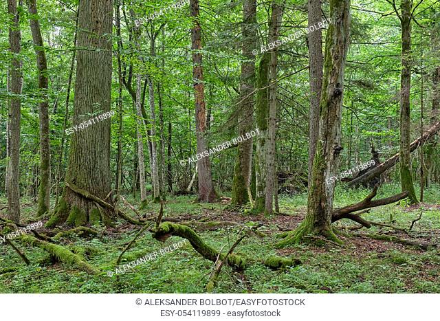 Springtime deciduous primeval stand with old oak trees in background, Bialowieza Forest, Poland, Europe