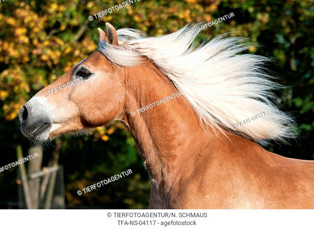 Haflinger horse portrait